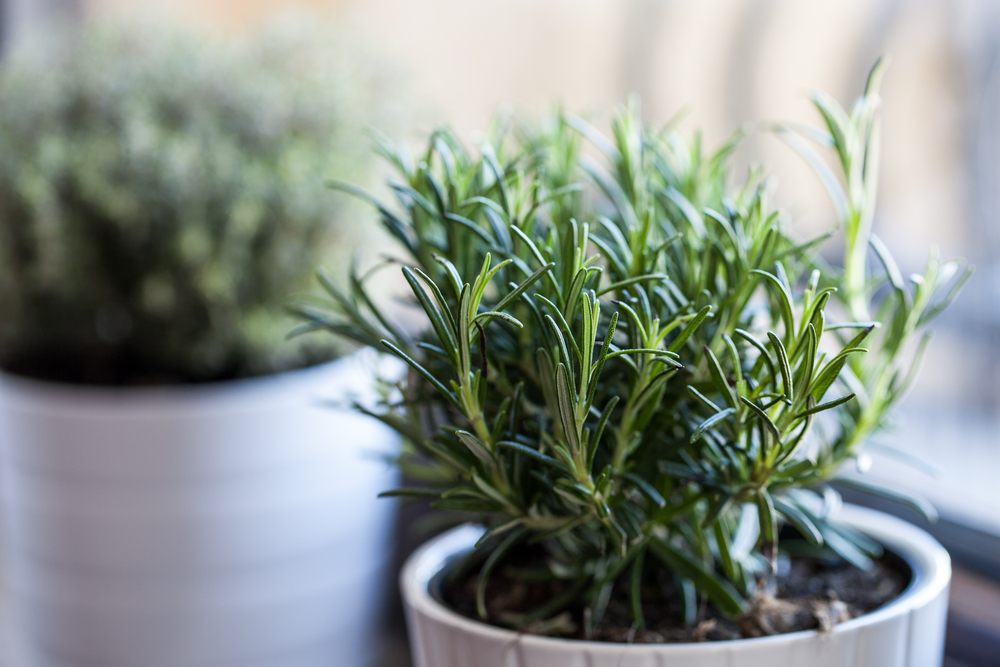 substitution for rosemary